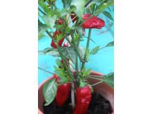 Chiliplanta