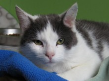 Katten Thure från katthemmet Tassebo i Helsingborg