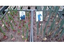Steffos och Jennys tulpaner som snart ska skördas