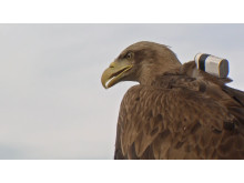 Eagle with Sony Action Cam on back