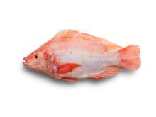 Fisksorten Rödstrimma fungerar bra för uppfödning på land. Nu ska uppfödningen certifieras i Svenskt Sigill.
