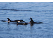 Orcas-(c)Oceans-Initiative-