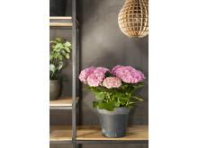 Hortensia - en effektiv luftfuktare med ljuvlig blomning