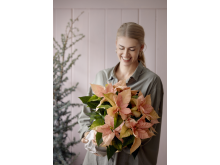 Julstjärna 2020 Christmas blush