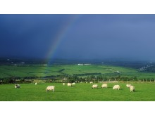 Irländska får1