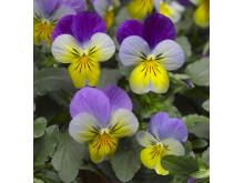 Viola (Tricolor-Gruppen) 'Deltini Blue with Purple wing'