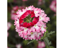 Verbena, Glandularia Landai® Twister Red