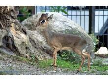 Dikdiks im Zoo Rostock