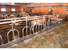 The original barn is old and cramped. New facilities will offer more cow comfort and space and enable the herd's genetic potential to be achieved.