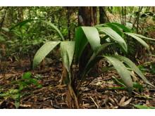 Från kartläggningen av palmer i Amazonas