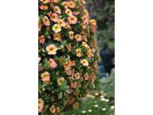 Småpetunia, Calibrachoa Chamaeleon 'Sunshine Berry' i ampel