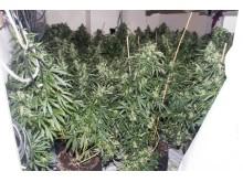 Cannabis [1]