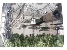 Cannabis [2]