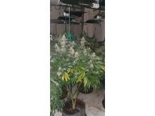 Cannabis Factory Sutton 1