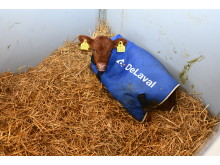 Jackets are used on all calves.