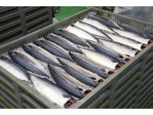 Norsk makrell