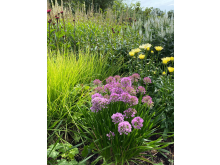 AlliumMillenium_FotoMarieWändel.jpg