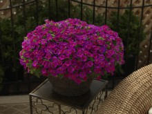 Småpetunia Calibrachoa Callie Rose with Eye