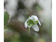Fylld snödroppe, Galanthus nivalis f. pleniflorus 'Flore Pleno'