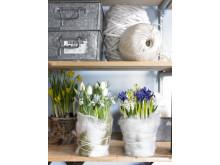 Blommande vårlök i klädda krukor