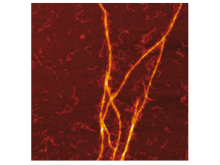 Foto Templerande S100A9-amyloider på Aβ-fibrillarytor.jpg