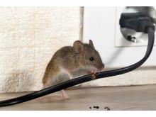 Nærbilde av mus som gnager på ledning i bolig