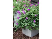 Trädgårdsverbena, Glandularia x hybrida Vidi vici-serien 'Purple'