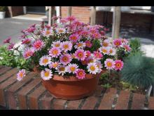 Margerit, Argyranthemum-frutescens-Madeira-Pink-Halo
