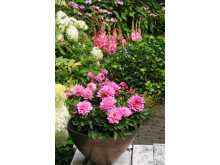 Samplantering av rosa dahlia - steg 3