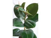 Fönsterfikus, Ficus elastica