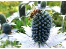 Bina samlar pollen om hösten