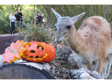 Halloween im Zoo Leipzig: Guanako am Kürbis