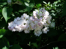 Syren Syringa vulgaris BEAUTY OF MOSCOW