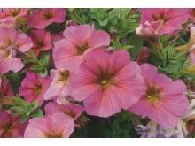 Petchoa x hybrida BeautiCal Sunray Pink