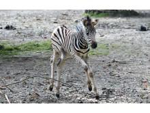 PI-Zoo-DARWINEUM-80-2017_Zebra-Nachwuchs_Zoo Rostock_Kloock_02