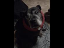 'Angel' - Staffordshire Bull Terrier [2]