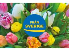 Tulpaner med ursprungsmärkningen Från Sverige