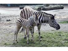 PI-Zoo-DARWINEUM-80-2017_Zebra-Nachwuchs_Zoo Rostock_Kloock_01