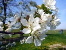 Blütenpracht im Sächsischen Obstland Dürrweitzschen