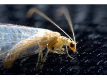 Common green lacewing captured with α7R II and 90mm Sony Macro Lens