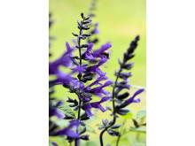 Salvia Salgoon