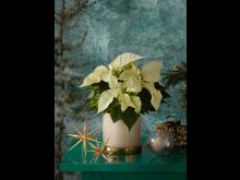Julstjärna 2020 green spirit