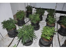 Cannabis farm found in Tower Hill, Kirkby