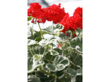 Årets Pelargon 2009 - Pelargonium 'Wilhelm Languth'