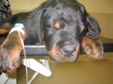 Ormbettsdrabbad hund