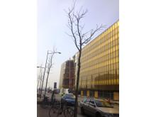 Plantering aav plataner längs Hyllie boulevard