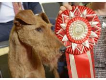 Årets vinnare i Årets Utställningshund: den irländska terriern Merrymac Zinnia Of Gold Again.