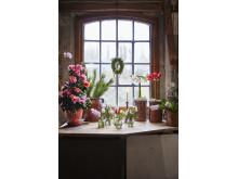 Julstämning med azalea, hyacint och amaryllis
