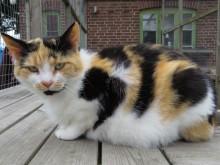 Katten Polly från katthemmet Tassebo i Helsingborg