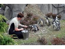 Pinguine-POLARIUM_2_Foto_Joachim_Kloock